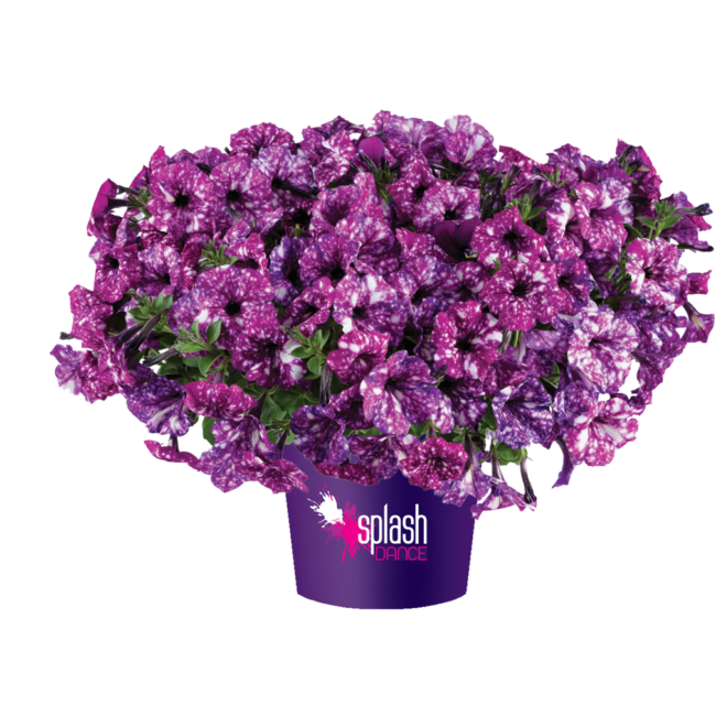 Petunia Splash Dance Purple Polka