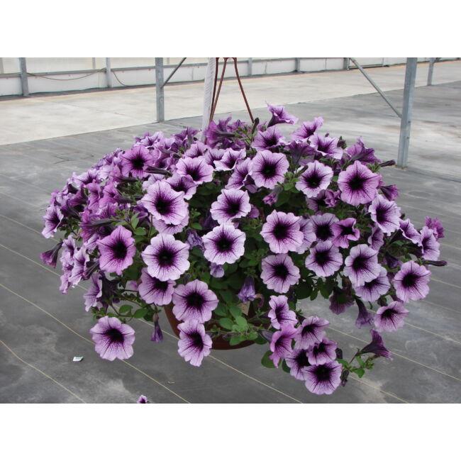 Petunia Bordeaux