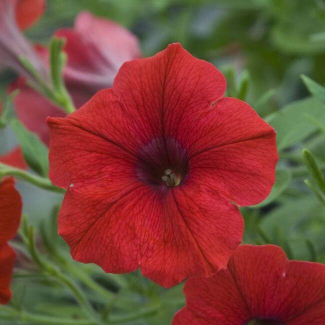 Petunia Veranda Scarlet