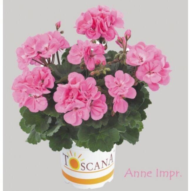 Dolce Vita Anne Pink