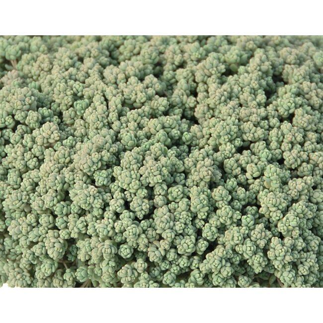 Sedum Dasyphyllum / Mirigyes vagy göndör varjúháj