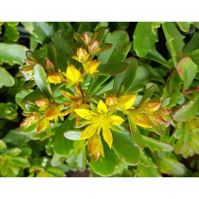 Sedum Floriferum / Dúsvirágú varjúháj