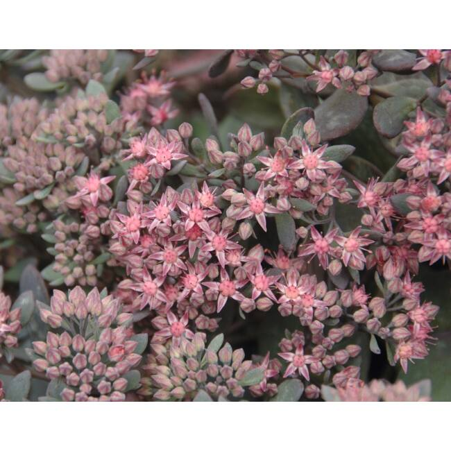 Sedum Cauticola 'Red Canyon' / Japán varjúháj