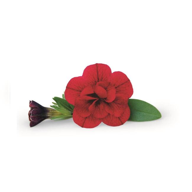 Calibrachoa Superbells Double Ruby
