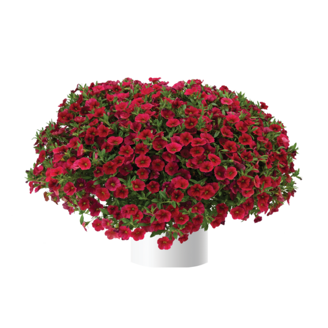 Calibrachoa Lia Dark Red