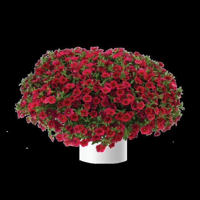 Calibrachoa Lia Dark Red