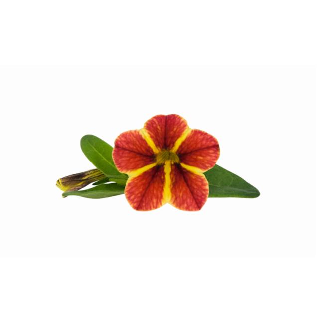 Calibrachoa Superbells Tangerine Star