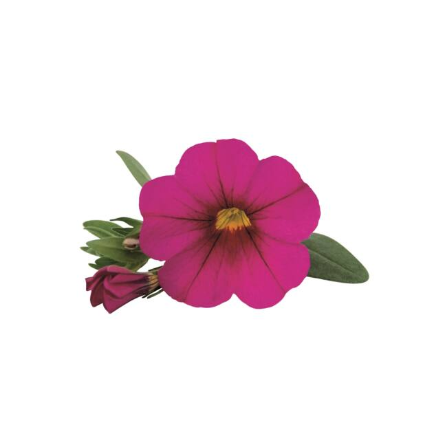 Calibrachoa Superbells Unique Dark Pink