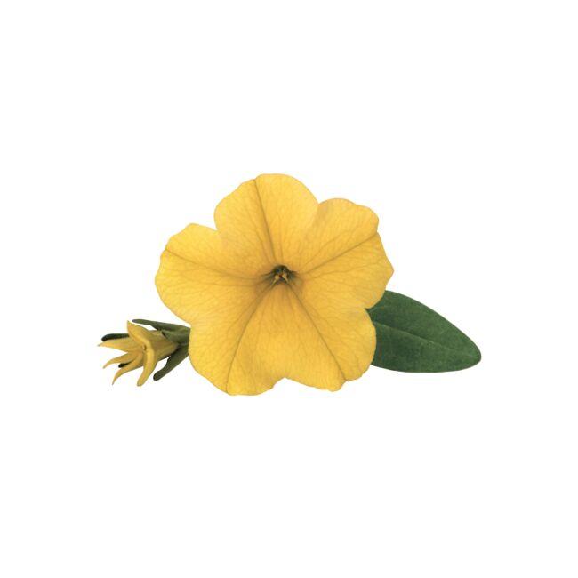 Calibrachoa Superbells Unique Golden Yellow