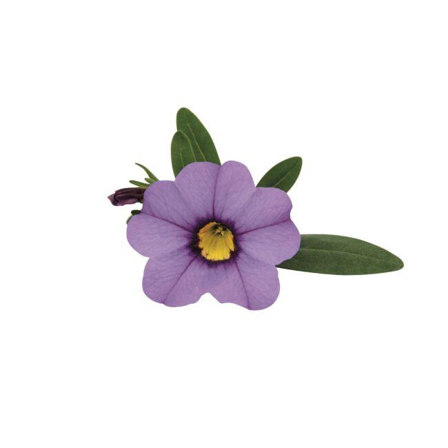 Calibrachoa Superbells Unique Lavender