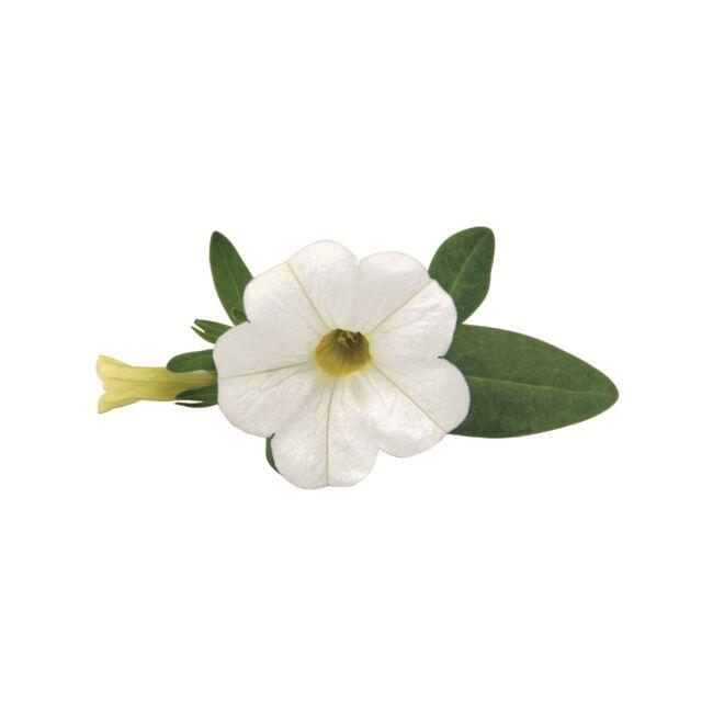 Calibrachoa Superbells Unique White