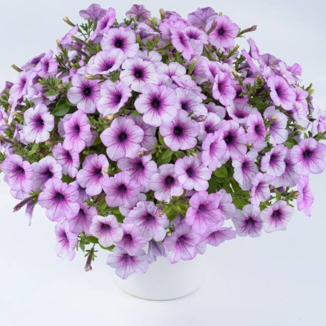 Petunia Surfinia Compact Purple Vein