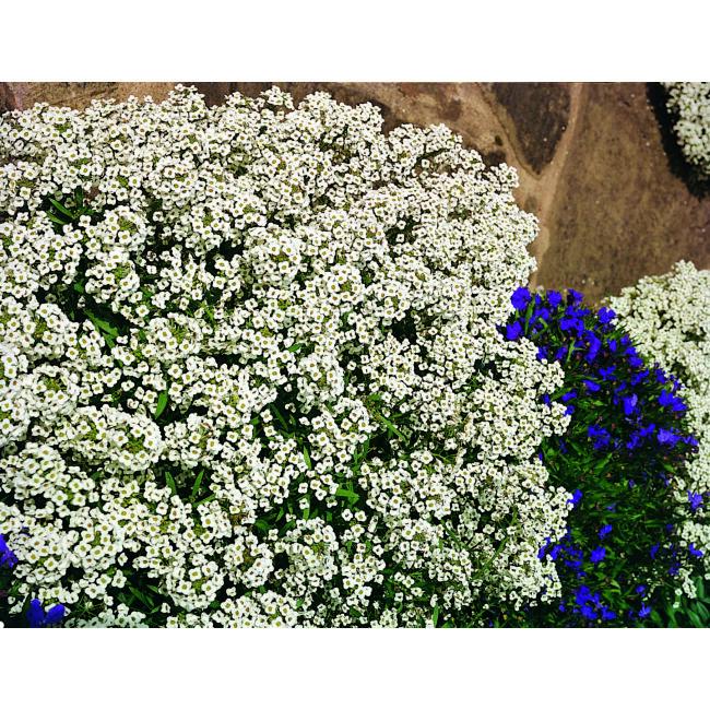 Alyssum Carpet of Snow / Illatos ternye
