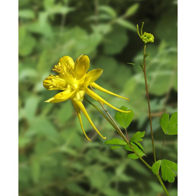 Aquilegia Yellow / Kerti harangláb
