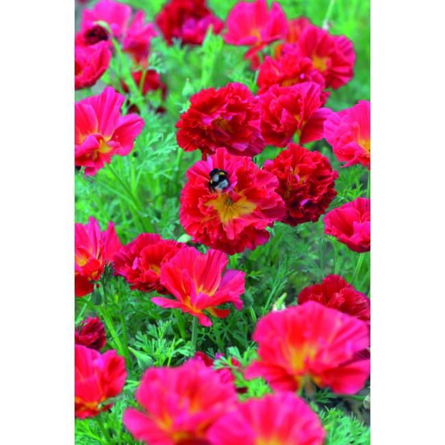 Californian Poppy Cherry Swirl / Kaliforniai kakukkmák