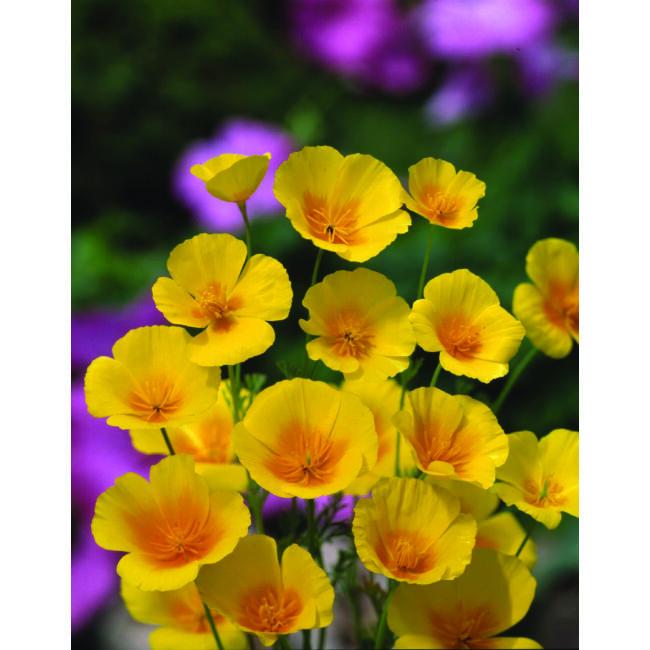 Californian Poppy Golden West / Kaliforniai kakukkmák