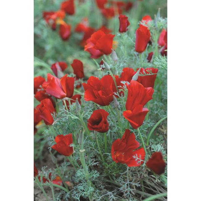 Californian Poppy Red Chief / Kaliforniai kakukkmák