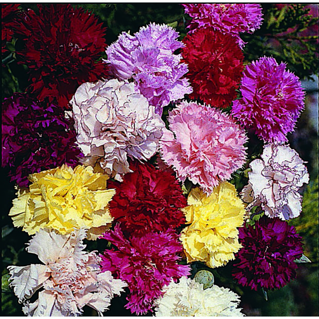 Carnation Giant Chabaud Double Mixed / Chabaud szegfű