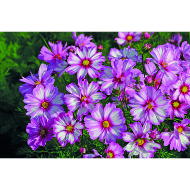Cosmos Capriola / Kerti pillangóvirág