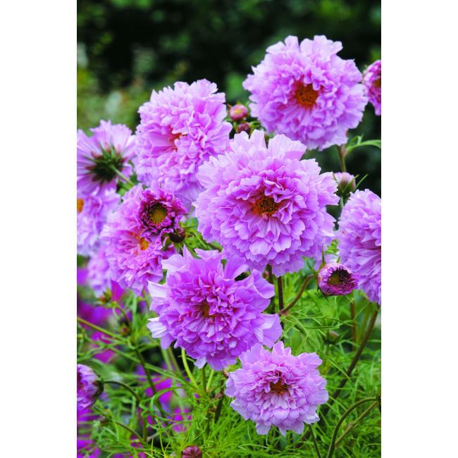 Cosmos Double Click Rose Bonbon / Kerti pillangóvirág