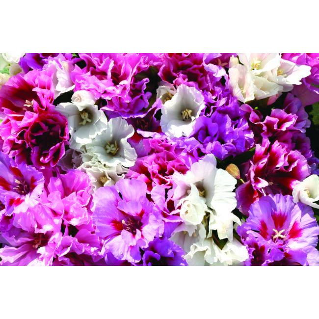 Godetia Pastel Posies Mixed / Nagyvirágú tündérkürt