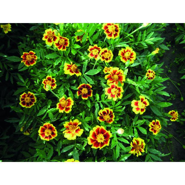 Marigold Legion of Honour / Törpe bársonyvirág