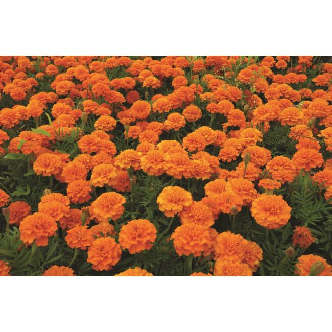 Marigold Orange Winner / Törpe bársonyvirág