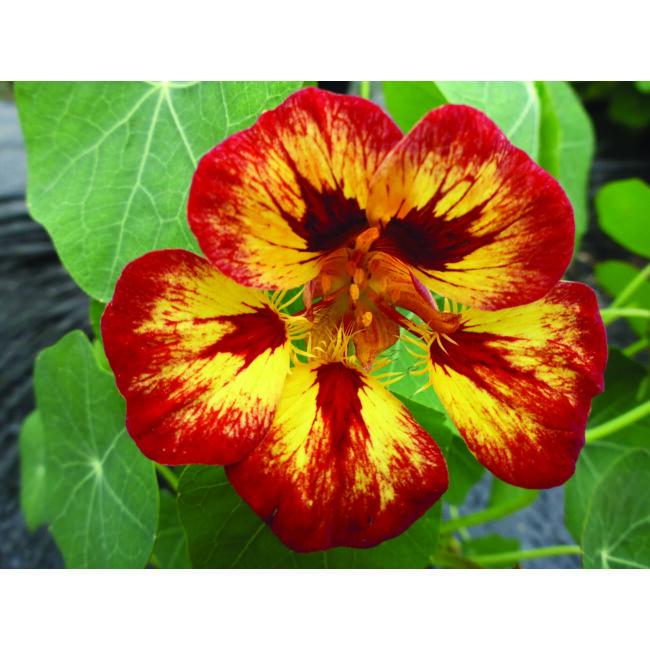 Nasturtium Orchid Flame / Kerti sarkantyúka
