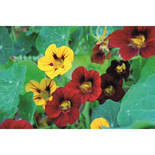 Nasturtium Tropical Mixed / Kerti sarkantyúka