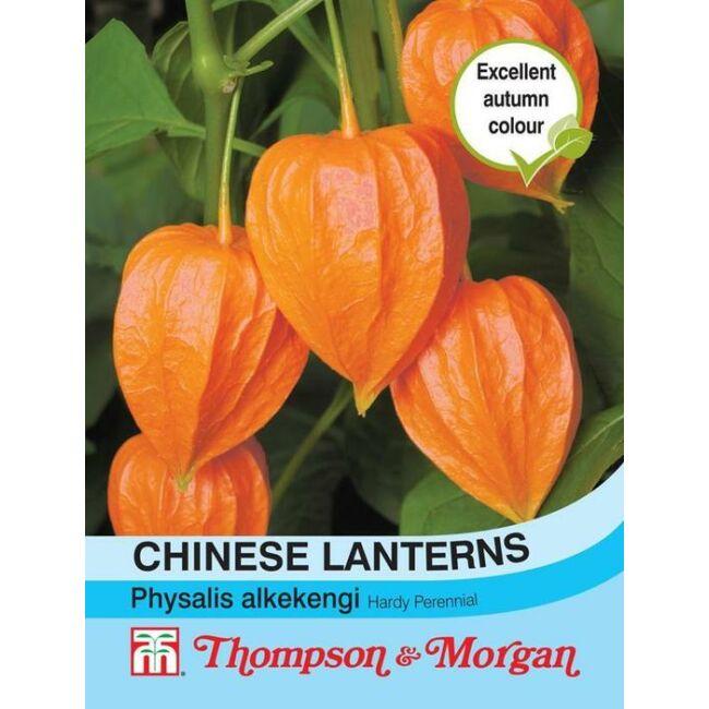 Chinese Lanterns Physalis Gigantea / Lampionvirág