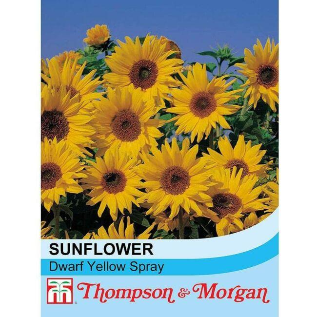 Sunflower Dwarf Yellow Spray / Dísznapraforgó