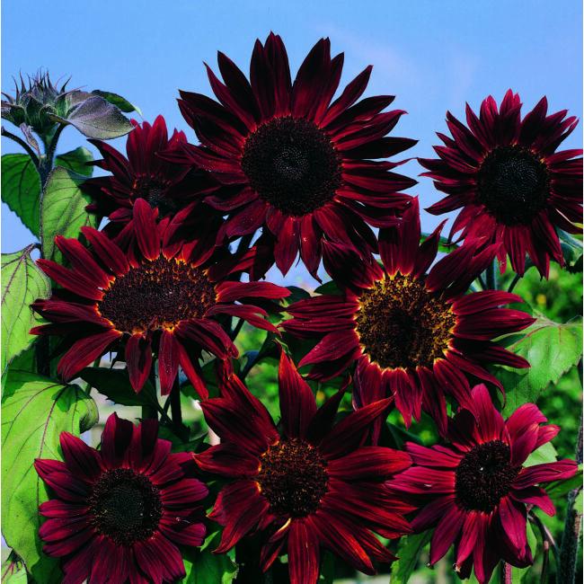 Sunflower Claret / Dísznapraforgó